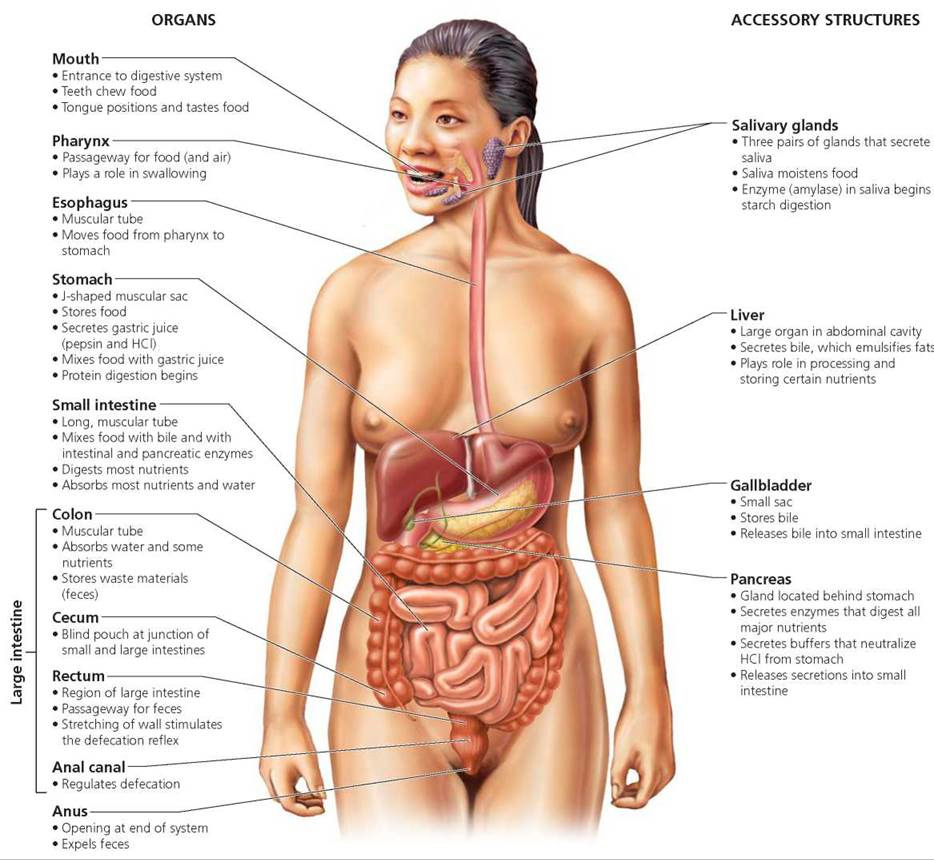 woman digestive system in detail Diagram of Female Hands