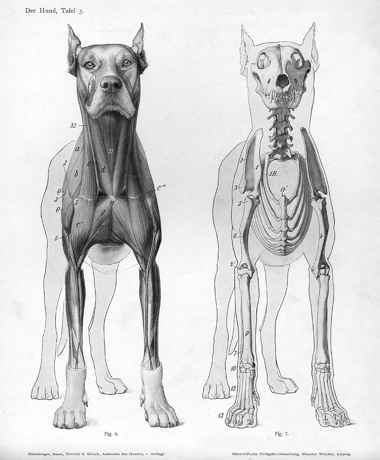 Dog Skeleton And Muscle Anatomy