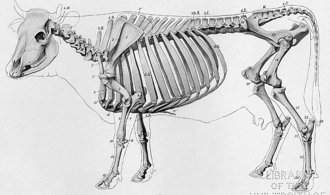 Cow Skeleton Anatomy Diagram