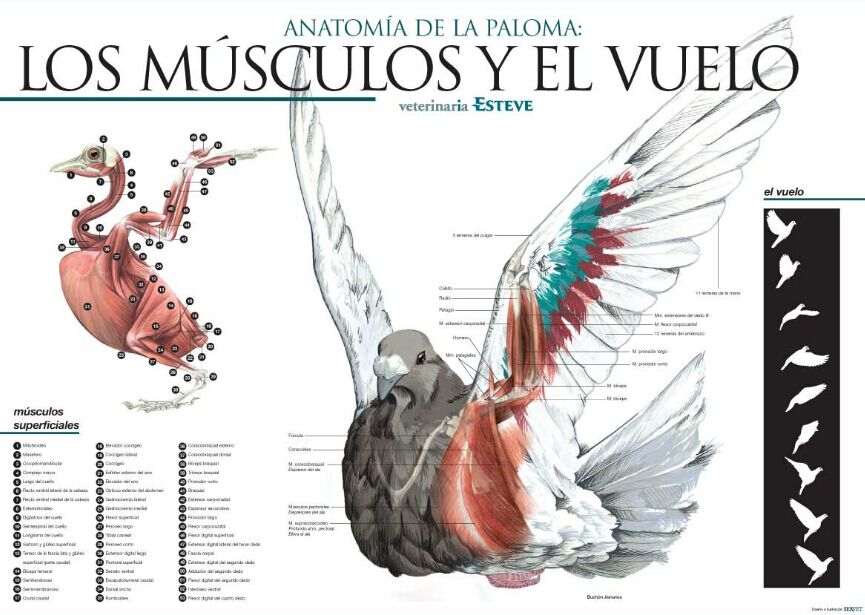 Bird Anatomy Muscle Structure