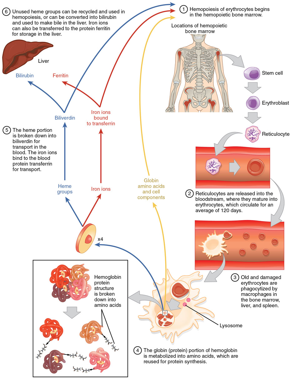Anatomy And Physiology Of Erythrocyte Life Cycling