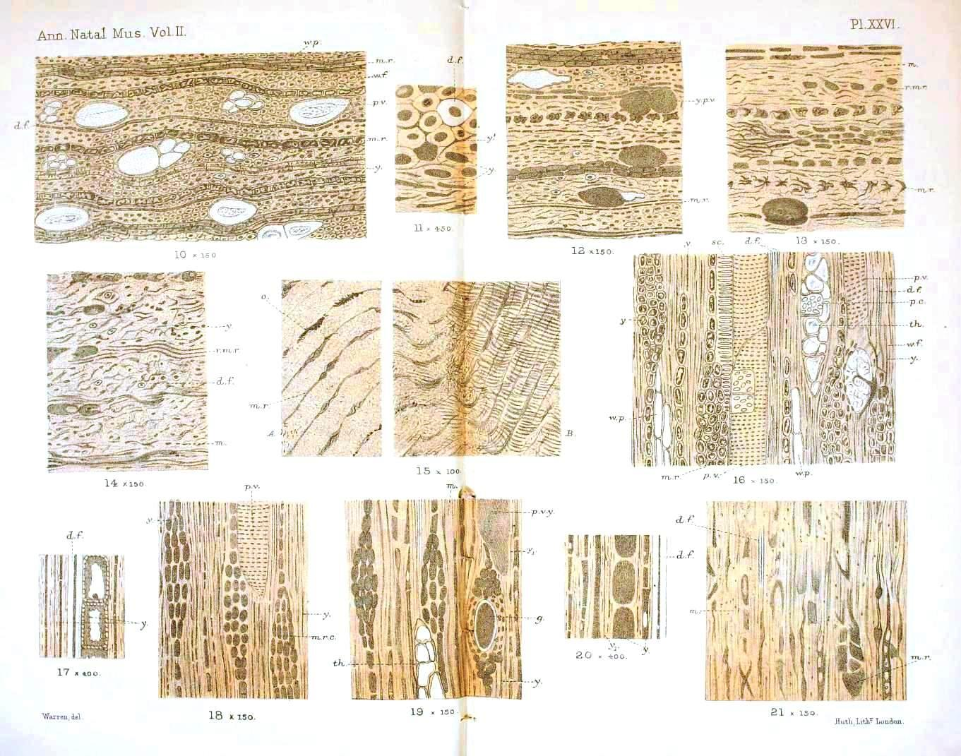 Fossil Wood Cell Anatomy