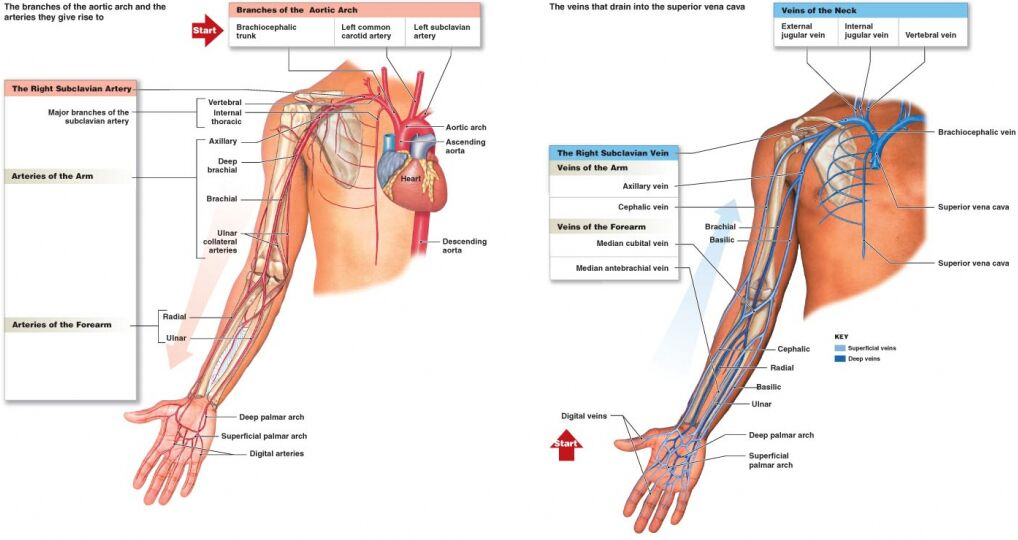 Upper Extremity Blood Supplement Diagram
