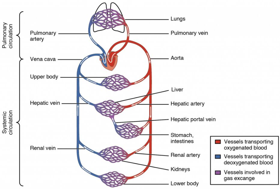 Structure Of Blood Circulation Of The Human Body