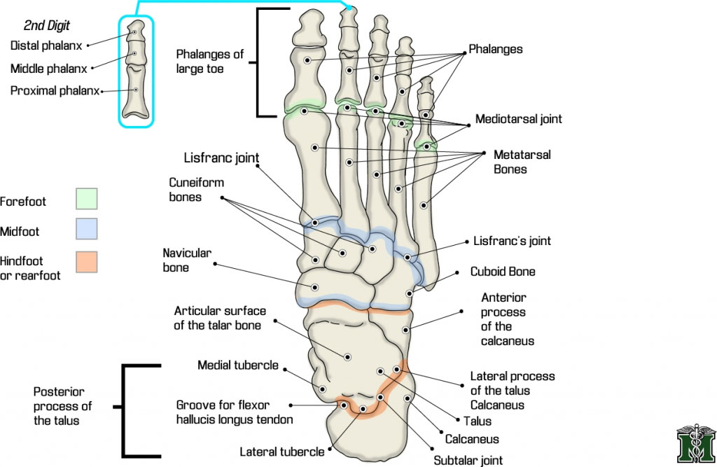 Tarsal Foot Bone Anatomical Structure
