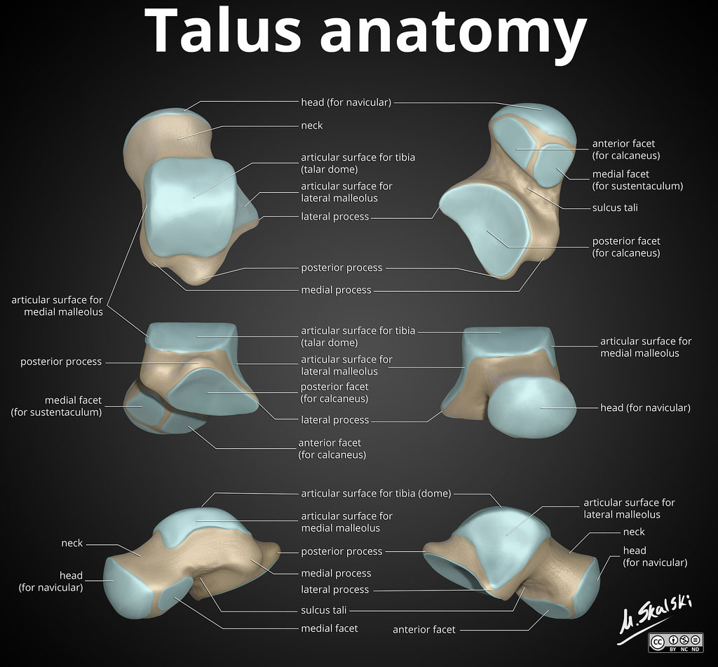 Talus Anatomy Different View