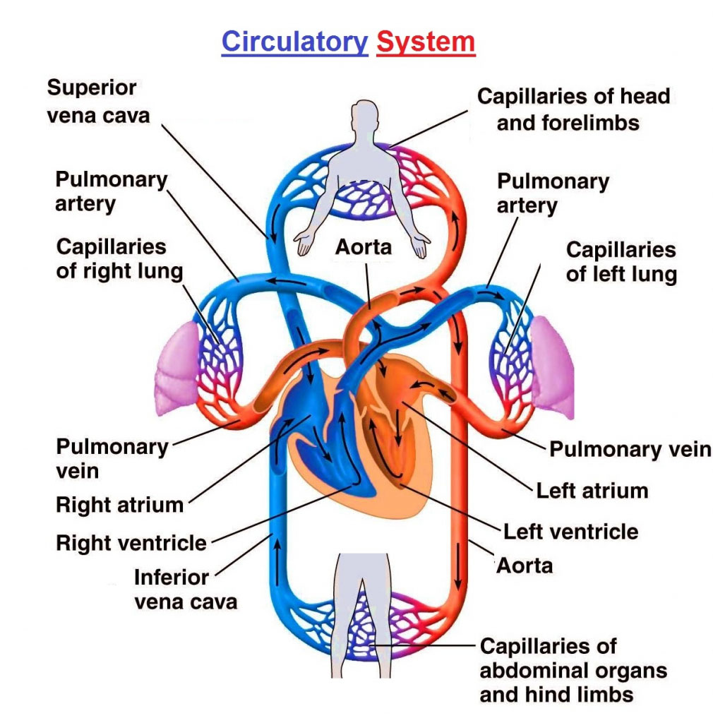 Circulation System Of The Human Body