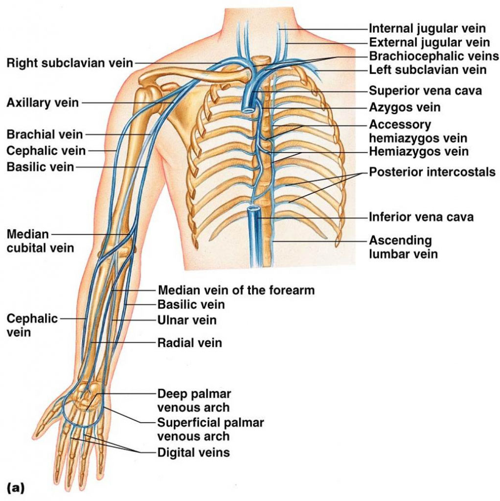 Superior Vena Cava And Right Arm Vein Anatomy