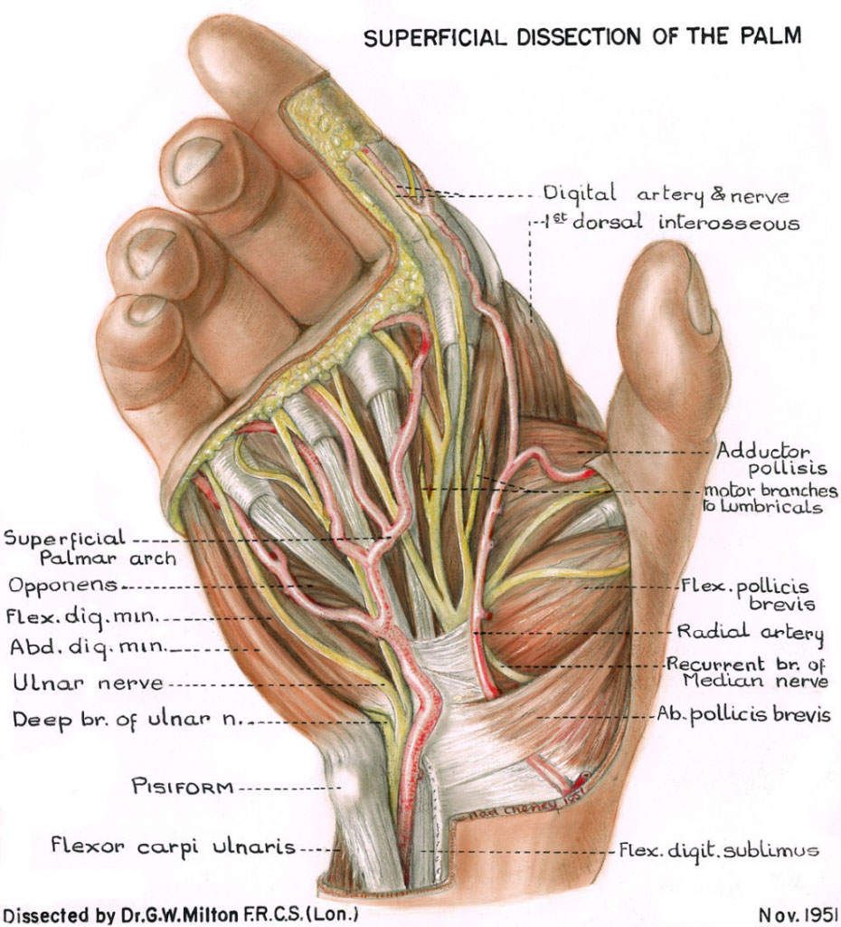 Superficial Dissection Of The Palm Anatomy