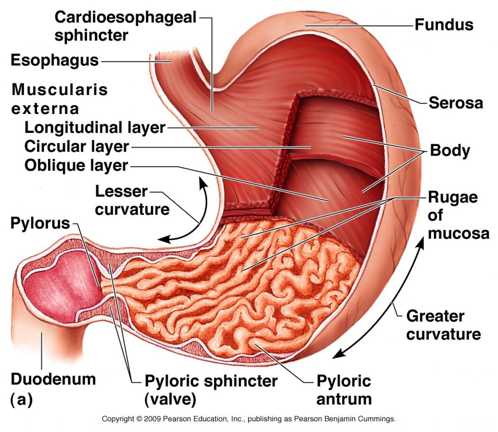 Stomach Wall Anatomy In Detail