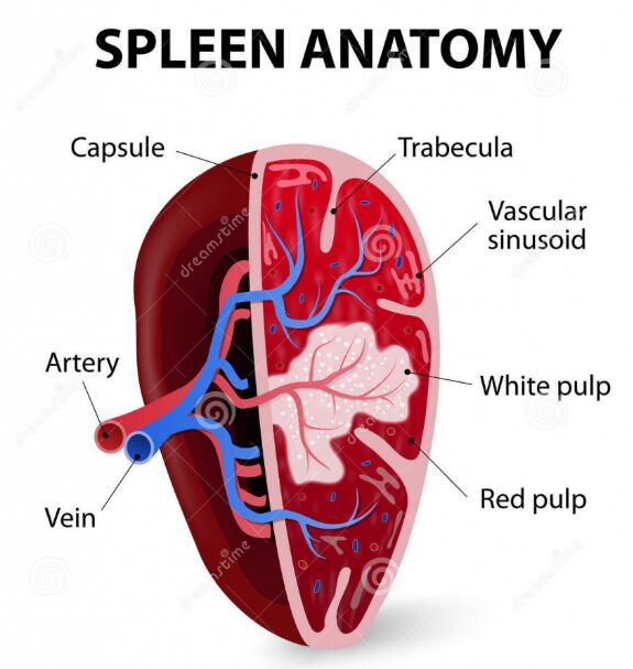 Spleen Anatomy Gross View