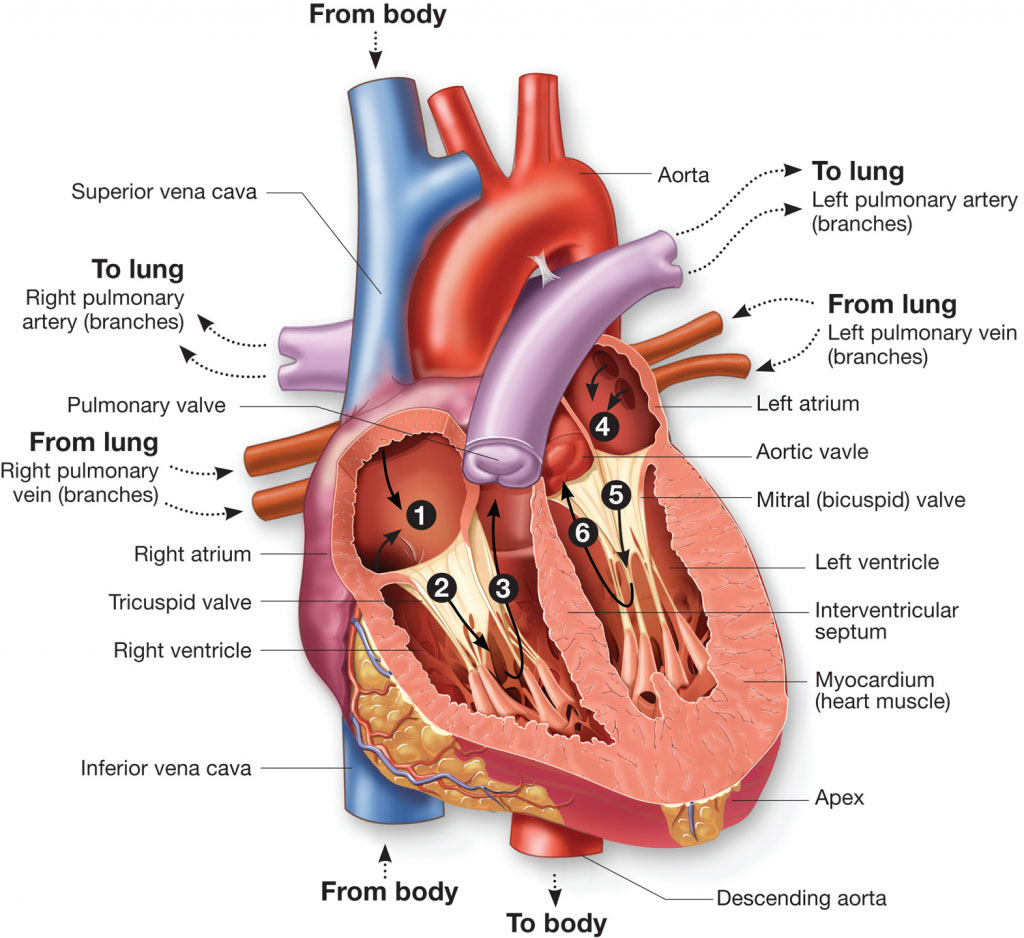 Heart Circulation In Detail