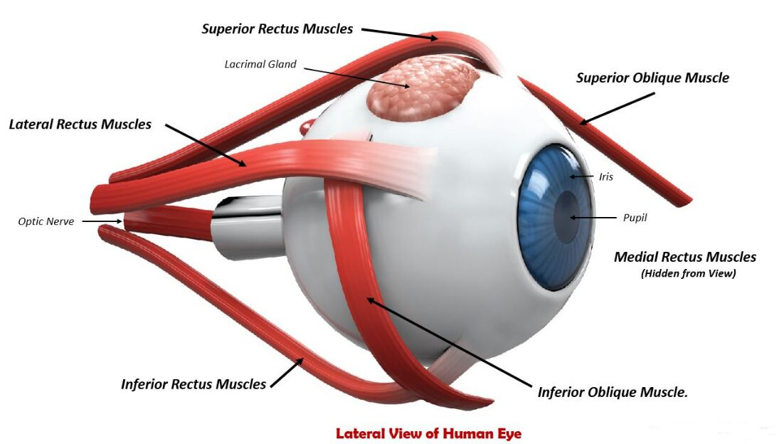 Lateral View Of Human Eye