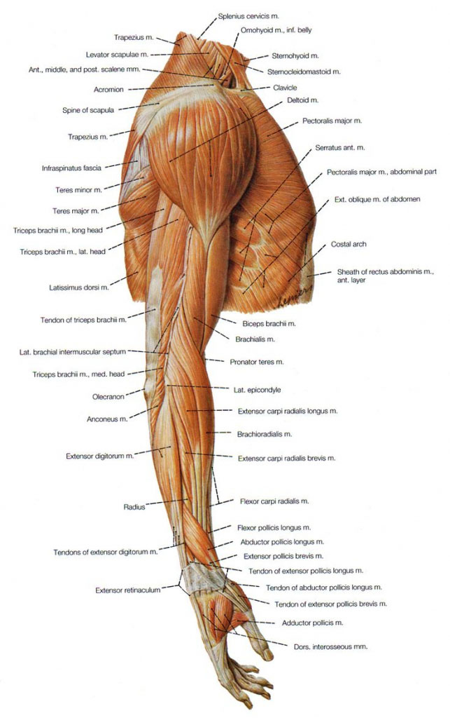 Shoulder Muscle Anatomy Lateral View