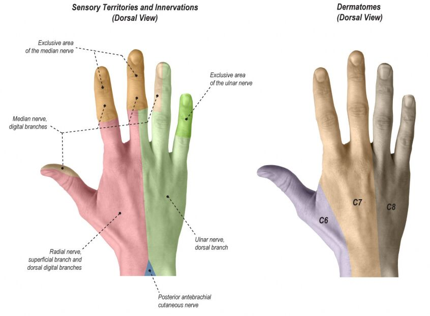Sensory Territories And Innervation Dorsal View And Dermatomes Dorsal View Of Hand
