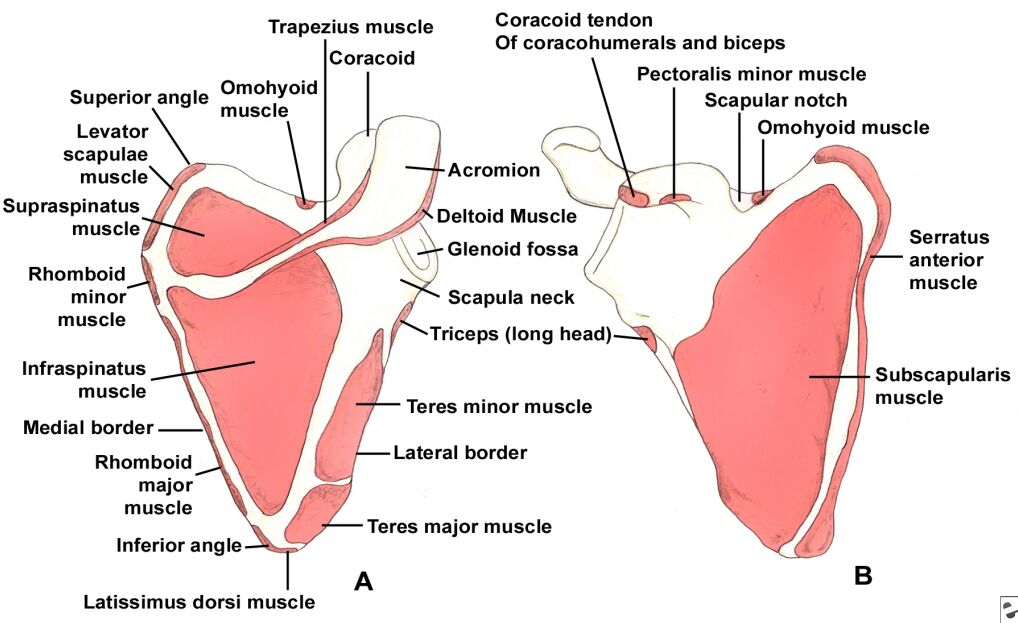 Scapula Muscle Anterior View And Posterior View