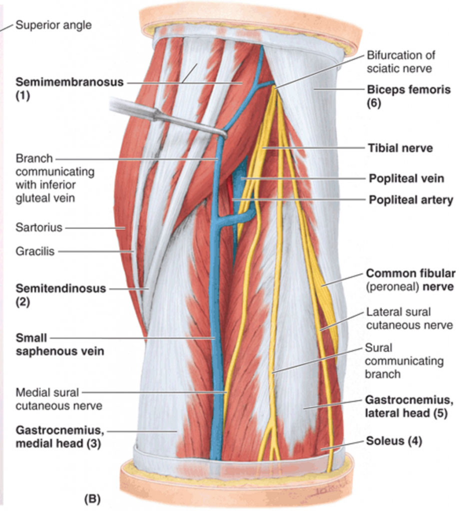 Popliteal Fossa Anatomy And Posterior View Of The Leg
