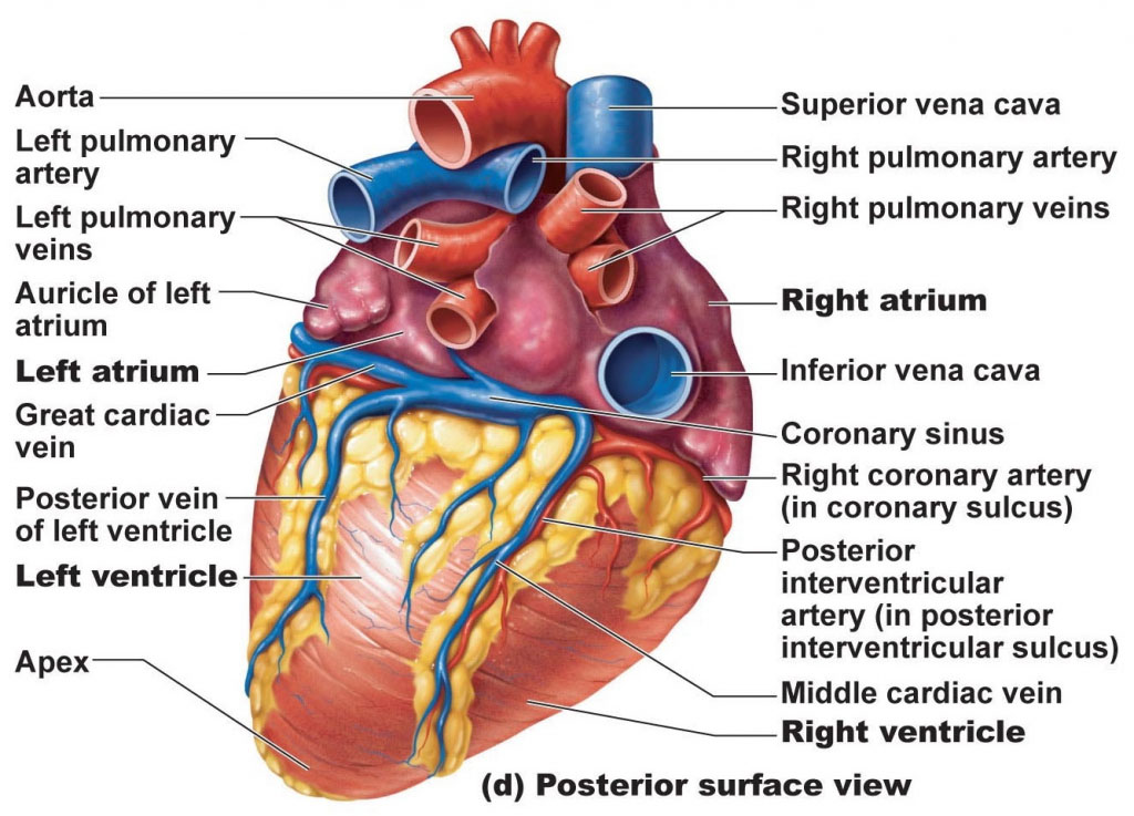 Posterior View Of Heart Anatomy