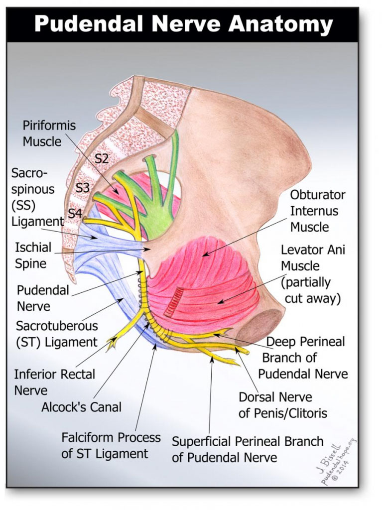 Pudendal Nerve Anatomy In Detail