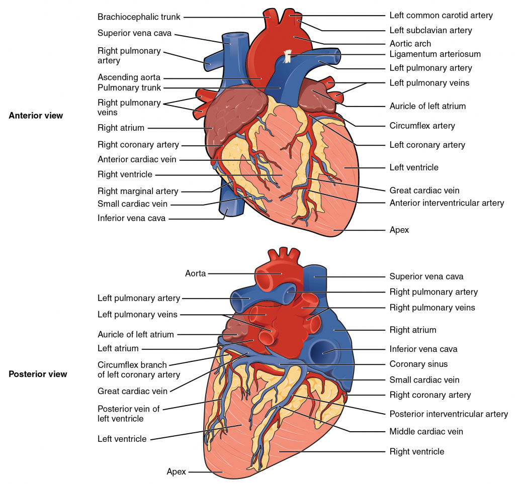 External Anatomy Of Heart Anterior View And Posterior View