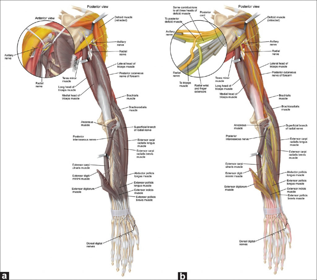 The Radial Nerve Of Upper Extremity Anatomical Structure
