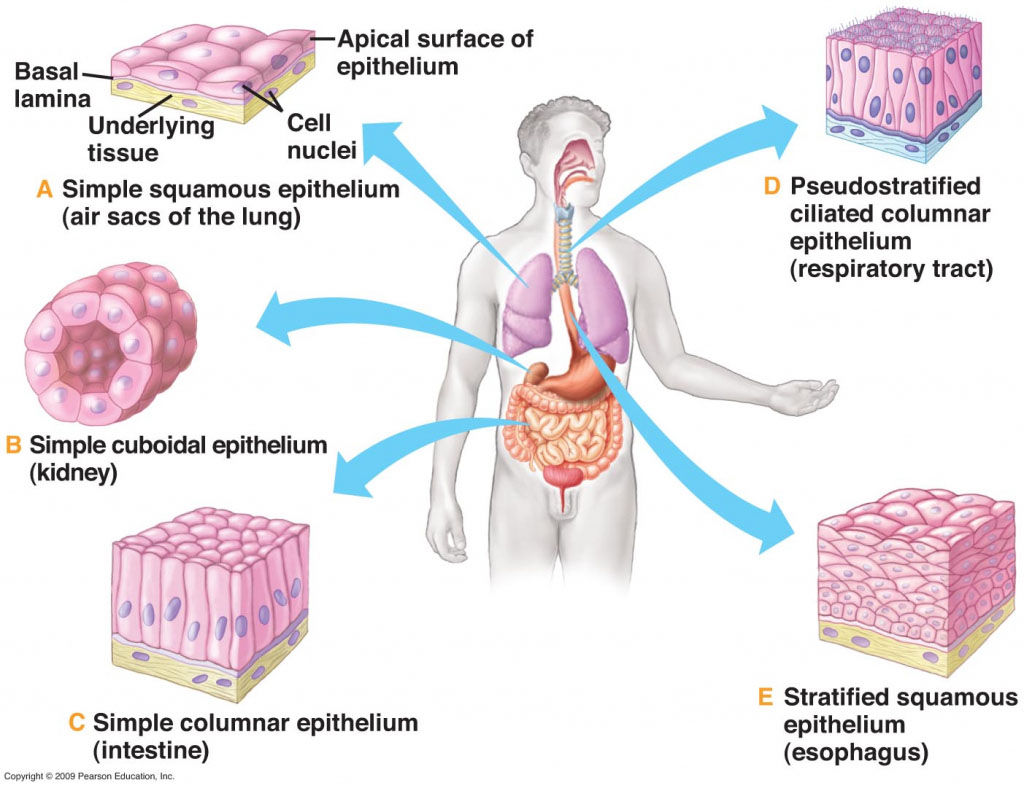 Epithelium Of Human Body In Different Parts