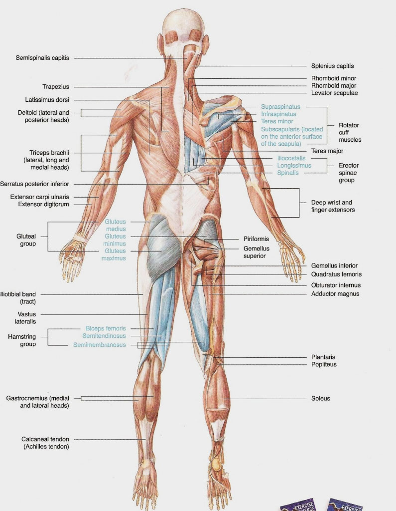 Posterior View Of Human Body Muscles Diagram