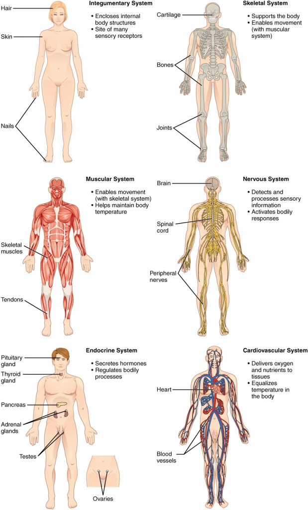 Human Body Introduction By Different System