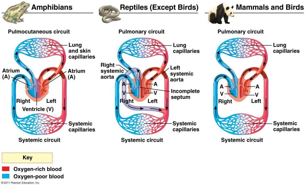 Amphibians Pulmocutaneous Circuit, Reptiles, Mammals And Birds Pulmonary Circuit Diagram