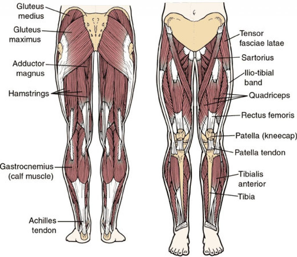 Hip Muscle And Ligament Anterior View And Posterior View