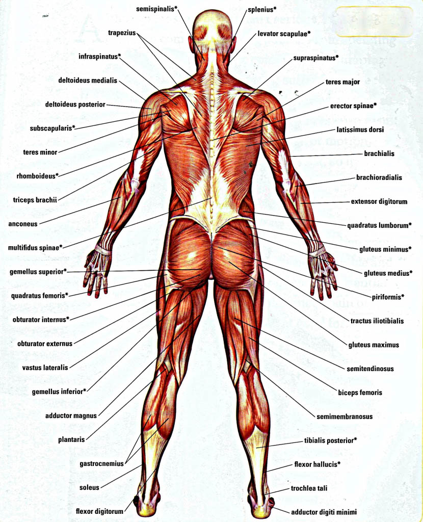 Diagram Of Back Muscles Of The Human Body