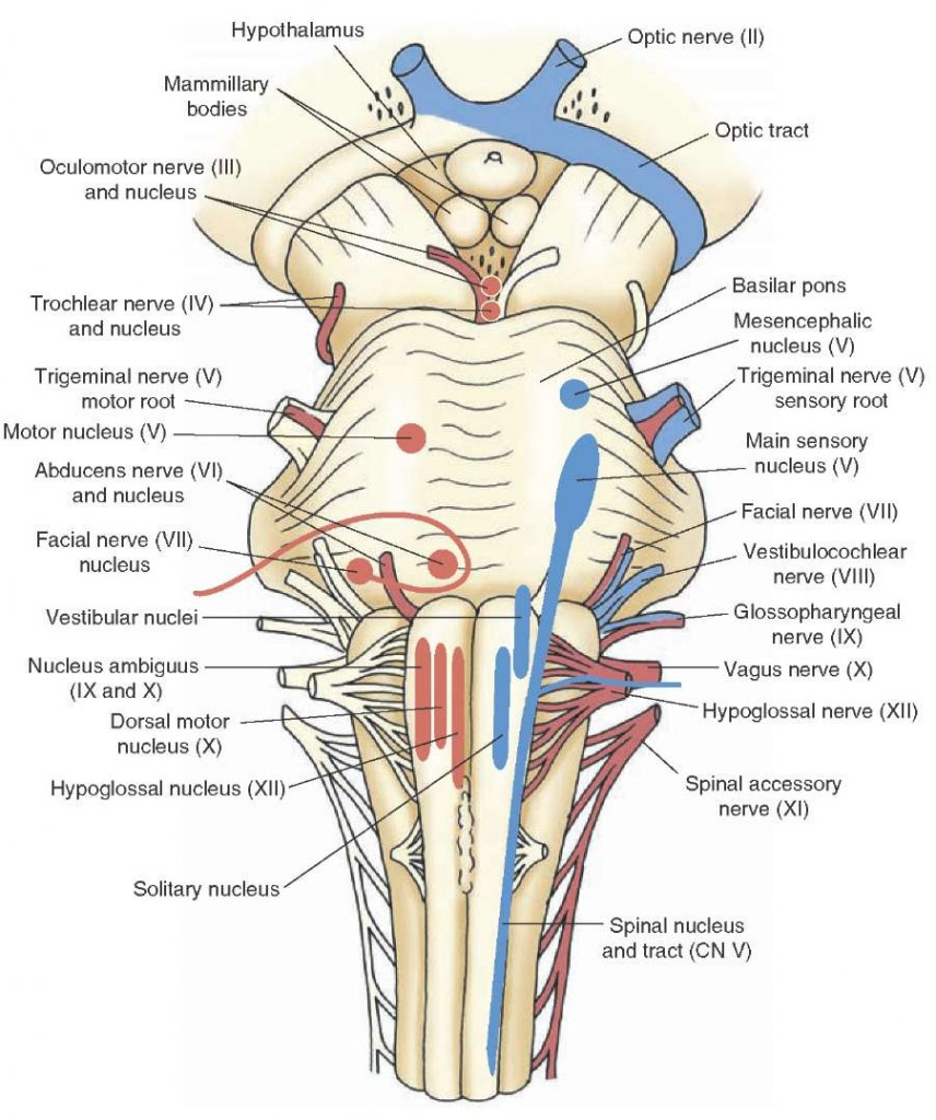 Cranial Nerve Anatomy In Detail