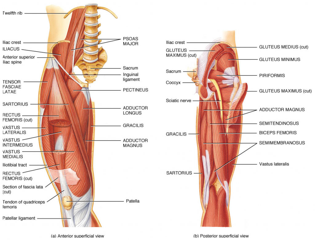 Hip Muscle Anterior Superficial View And Hip Muscle Posterior Superficial View