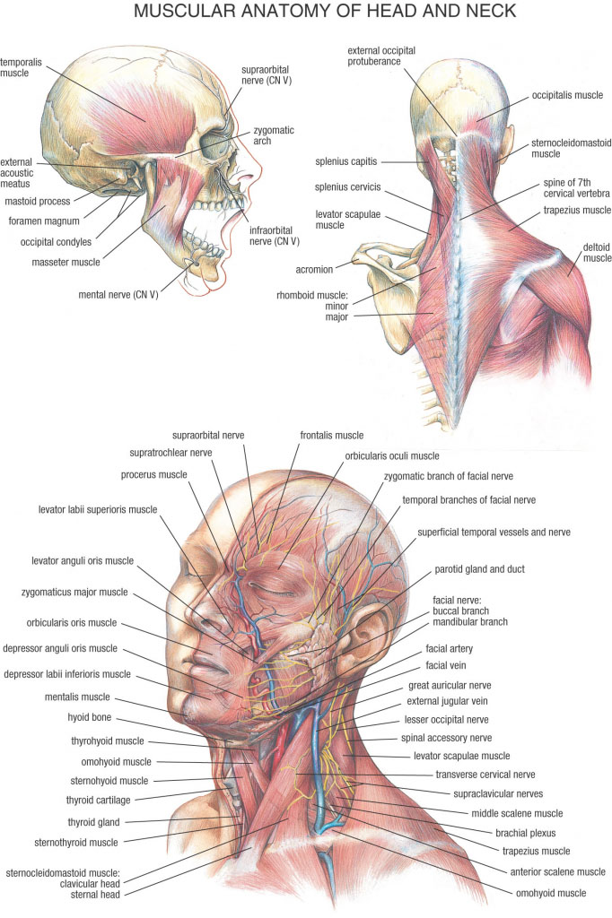 Muscular Anatomy Of Head And Neck
