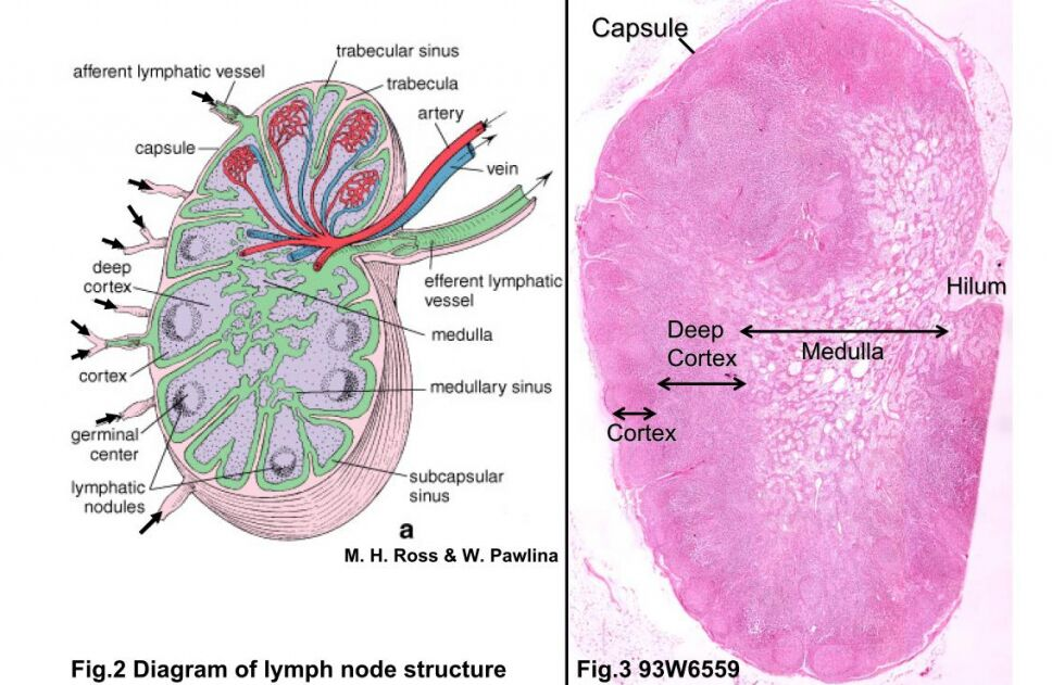 Lymph Node Anatomical Diagram And Structure Under Microscope