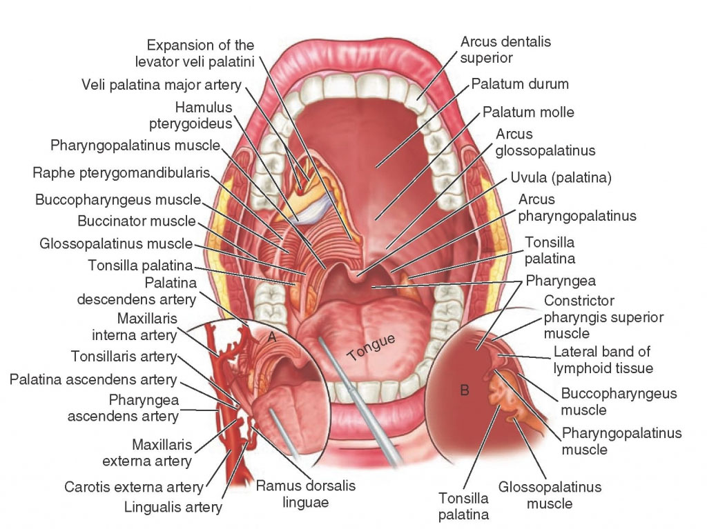 Human Mouth Anatomy In Detail