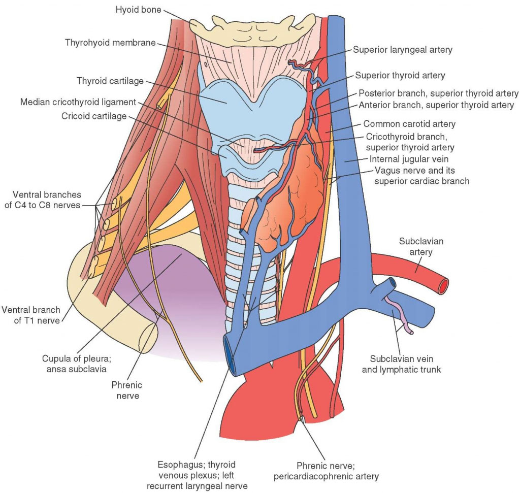 Neck Anatomical Structure Anterior View