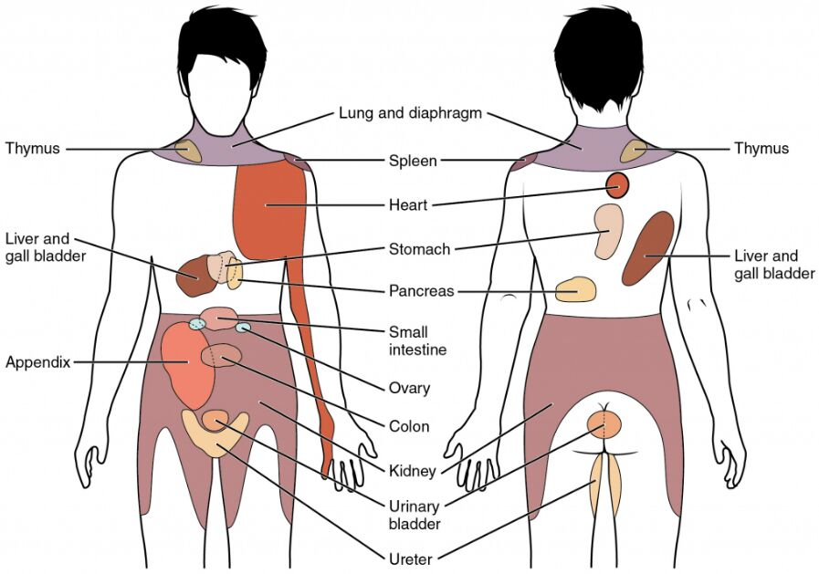 Human Body Pain And Referred Organ Anatomical Diagram