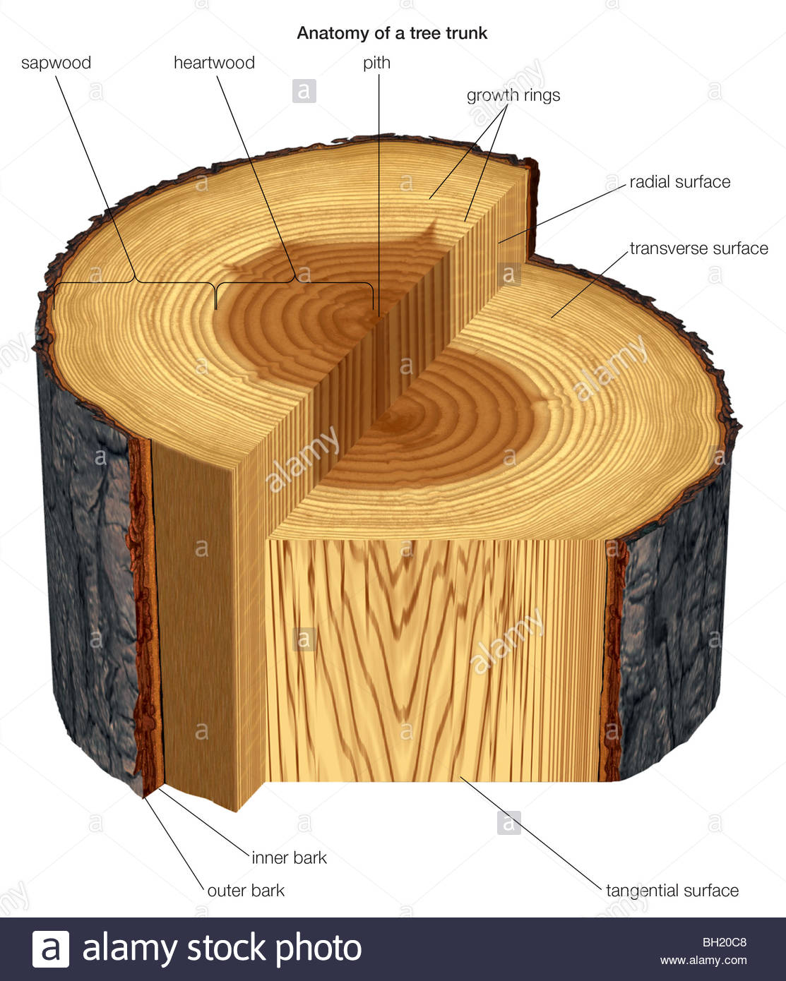 tree trunk diagram wiring diagram srconds Tree Stem Diagram
