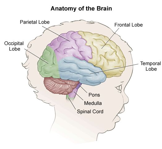 Anatomy Of The Child's Brain