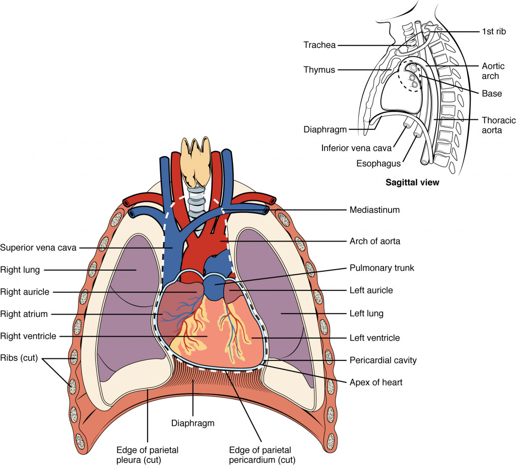 Heart Anatomical Location Diagram