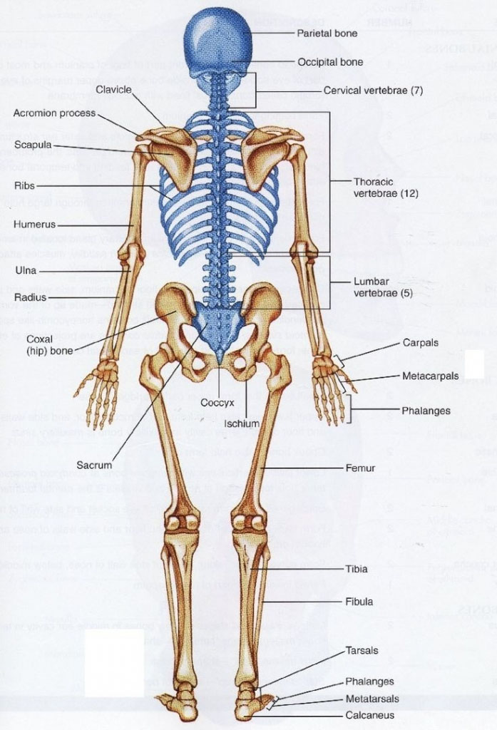 Axial Skeleton And Extremities Skeleton Anatomy