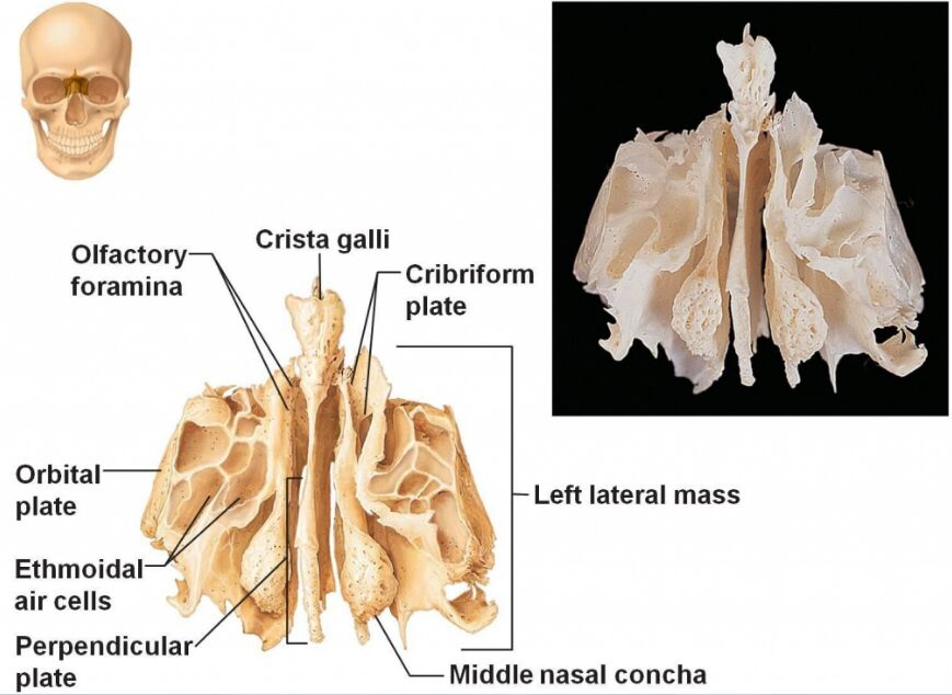 Ethmoid Bone Anatomy In Detail
