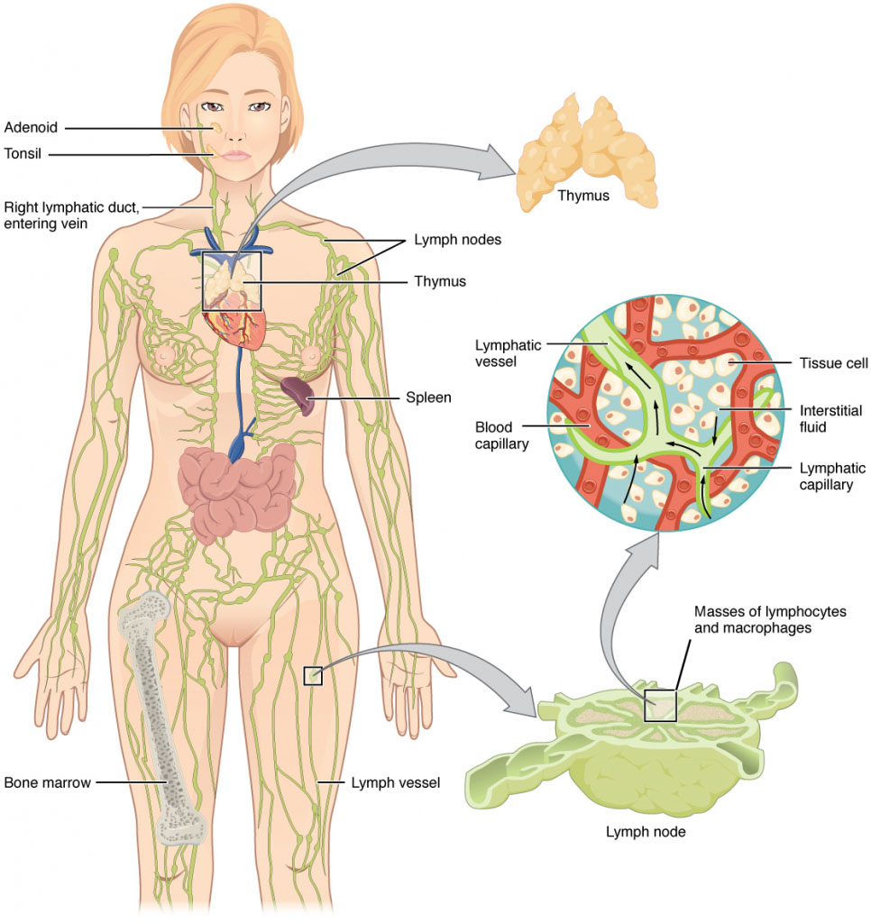 Human Immune System And Circulatory System Diagram