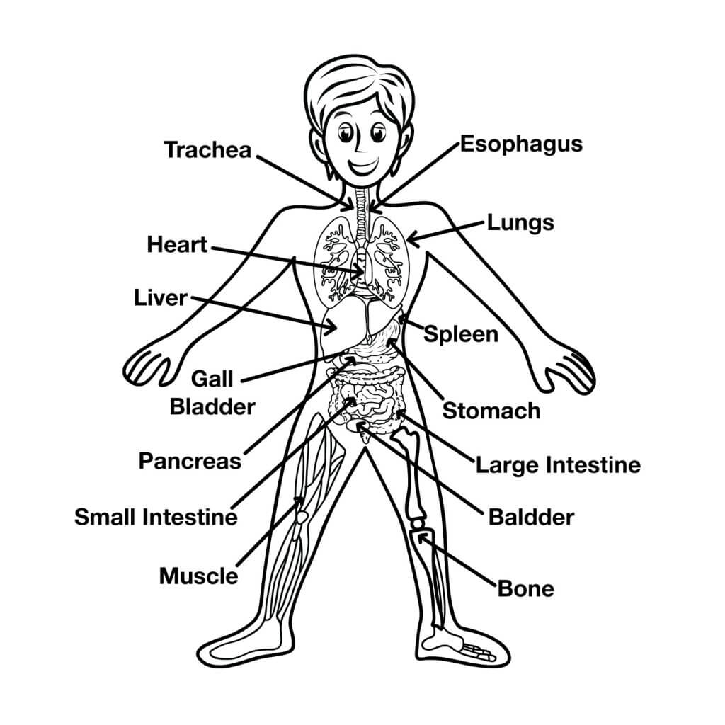 Esophagus Anatomy For Kids Fun Human Body Facts For Kids