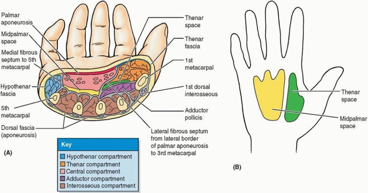 Thenar Space And Midpalmar Space