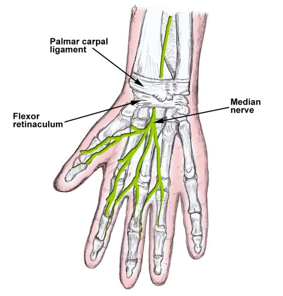 Palmar Carpal Ligament, Flexor Retinaculum, Median Nerve