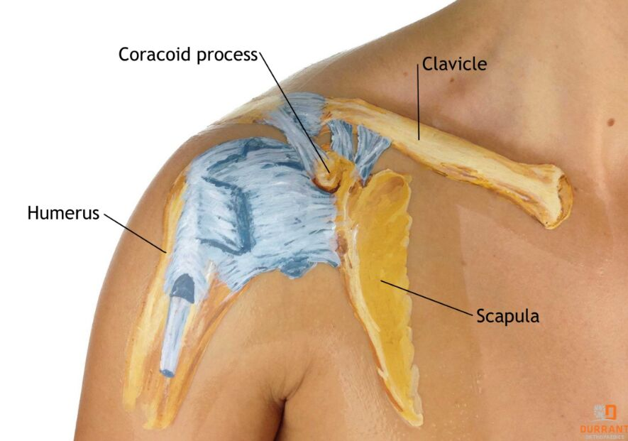Coracoid Process Anatomical Structure