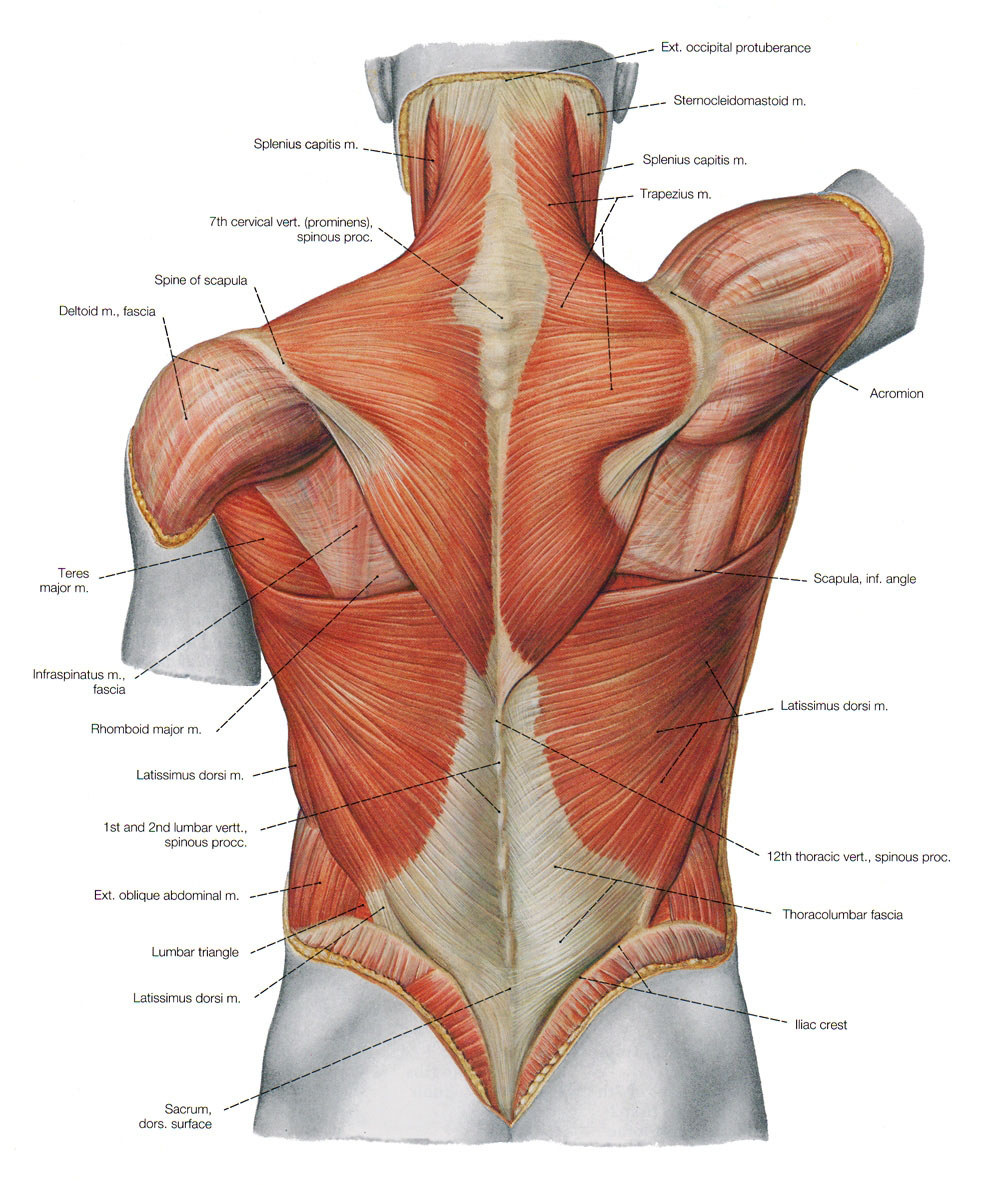 Back View Of Human Axial Muscle
