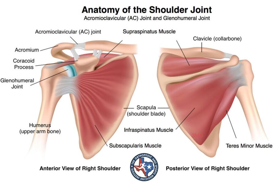 Right Shoulder Anatomy
